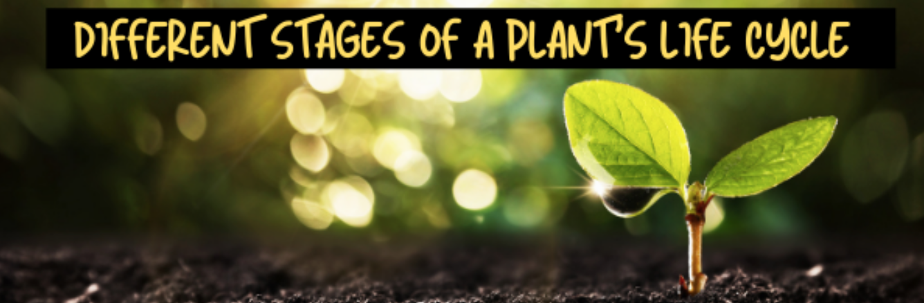 Life Cycle Of A Plant – Germination